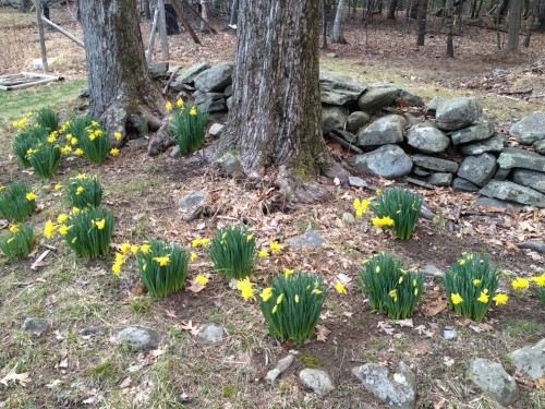 Beautiful yellow spring flowers blooming around two big trees and a stone wall in the Northeast.