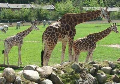 Beautiful tall giraffes at the zoo prarie.